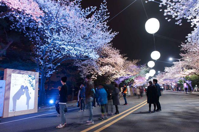 렛츠런파크 서울, 7일 벚꽃과 경마 함께 즐길 수 있는 무료입장 이벤트